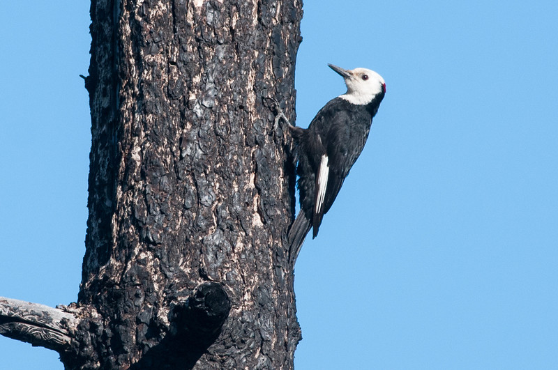 White-headed Woodpecker, male.