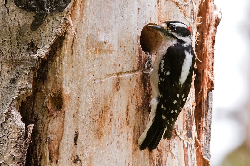 Downy Woodpecker, male.
