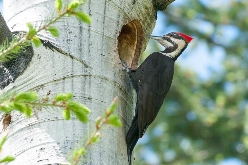 Pilliated Woodpecker, female.