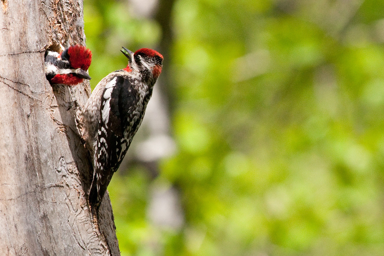 Red-naped Sapsucker, Male and Female, Ahtanum Cr.