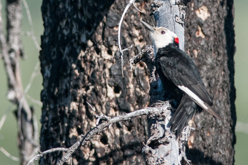 White-headed Woodpecker, male