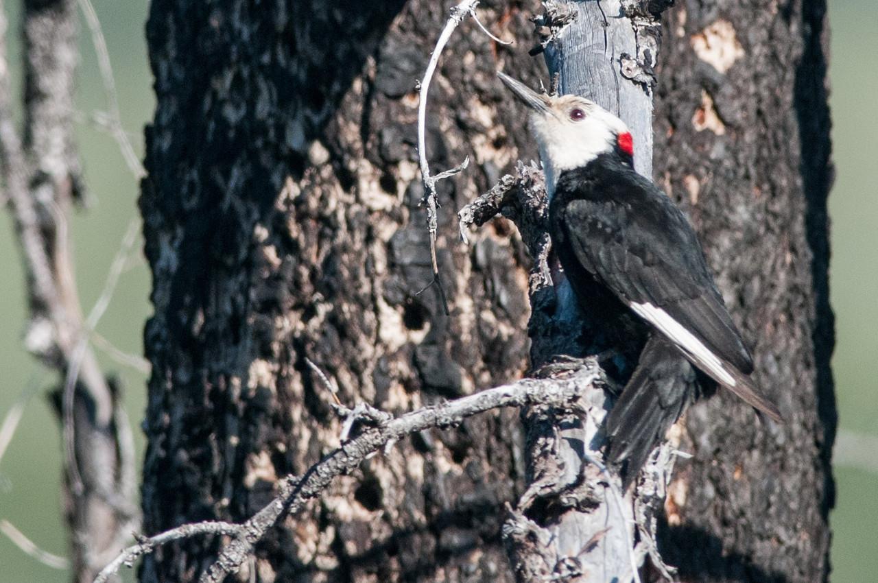 White-headed Woodpecker, male