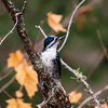 Algonquin Provincial Park, black-backed woodpecker: Picoides arcticus, male