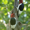 Constance Bay, red-headed woodpecker: Melanerpes erythrocephalus