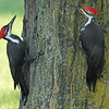 Mud Lake, pileated woodpecker: Dryocopus pileatus