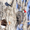 Tongue being extended to lap up some uncovered insects.<br /> Jack Pine Trail, pileated woodpecker: Dryocopus pileatus, female