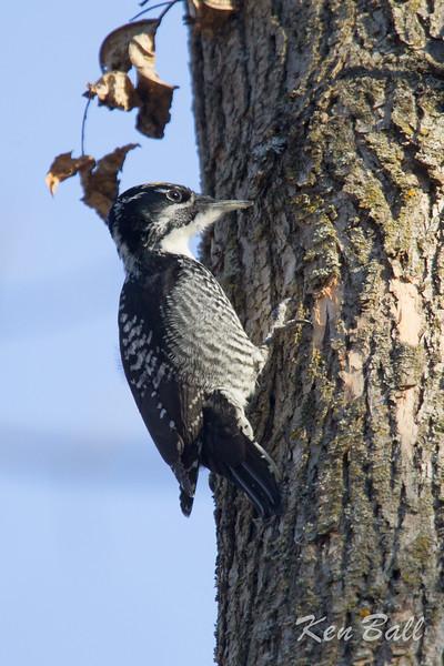 American three-toed woodpecker: Picoides dorsalis, male, Chemin Grimes, Gatineau, Quebec