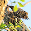 northern flicker: Colaptes auratus, Petrie Island