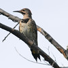 Mud Lake, northern flicker: Colaptes auratus