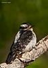 Hairy Woodpecker female.