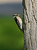 Hairy Woodpecker with lunch .