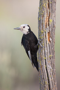 White-headed Woodpecker