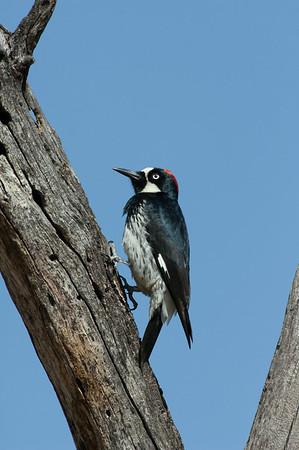 Acorn Woodpecker-118
