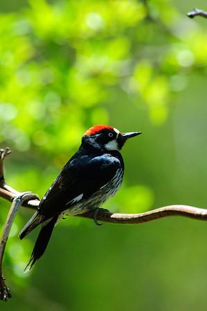 Acorn Woodpecker-111