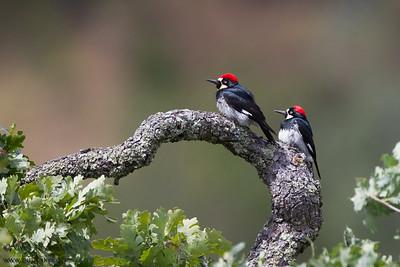 Acorn Woodpecker - Sunol-Ohlone Regional Wilderness, Sunol, CA, USA