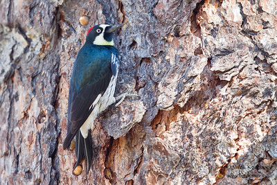 Acorn Woodpecker - Mines Road, CA, USA
