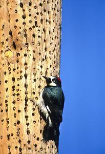 Acorn Woodpecker-101