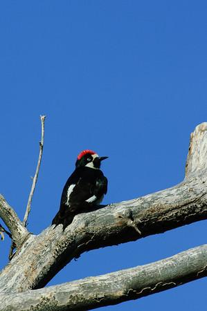 Acorn Woodpecker-123