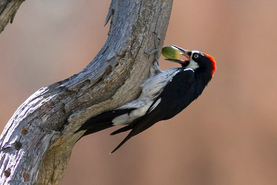 Acorn Woodpecker with acorn