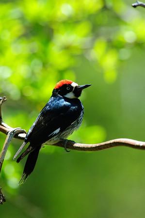 Acorn Woodpecker-112