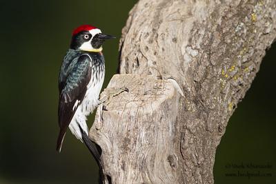 Acorn Woodpecker - Del Valle Regional Park, Livermore, CA, USA