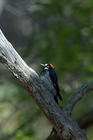Acorn Woodpecker-102