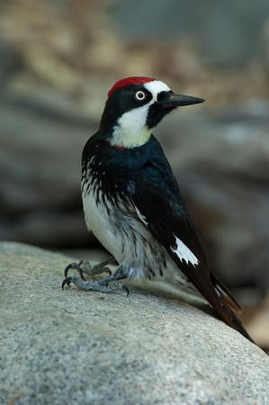 Acorn Woodpecker-126
