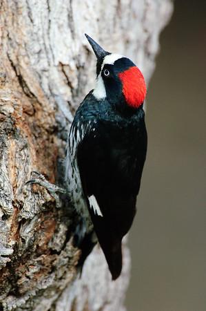 Acorn Woodpecker-124