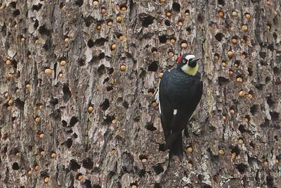 Acorn Woodpecker on a granary - Point Reyes National Seashore, CA, USA