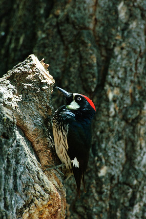 Acorn Woodpecker-114