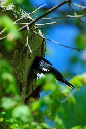 Acorn Woodpecker-105