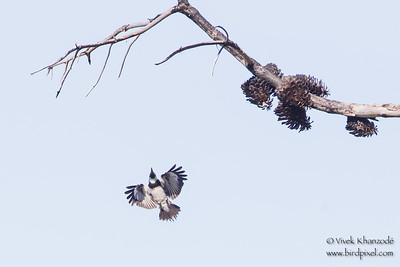 Acorn Woodpecker - Flycatching - Loma Prieta Ave., Santa Cruz Mountains, CA, USA