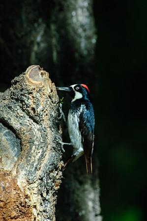 Acorn Woodpecker-119