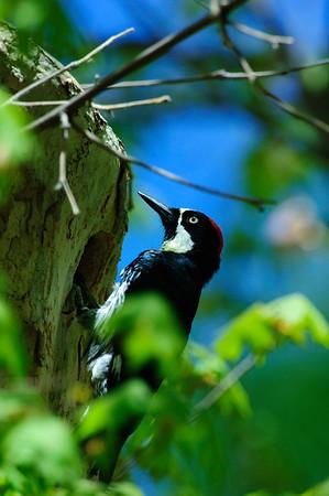 Acorn Woodpecker-106