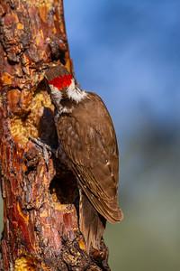 Arizona Woodpecker - Hereford, AZ, USA