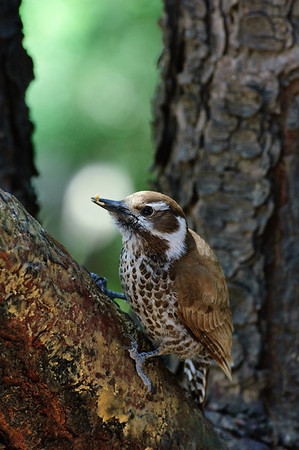 Arizona Woodpecker-2