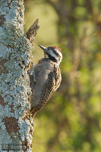 Bearded Woodpecker - Male - Serengeti National Park, Tanzania