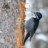 Black-backed Woodpecker @ Warren Nelson Memorial Bog, Sax-Zim Bog - Feb 2018