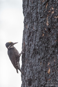 Black-backed Woodpecker - OR, USA