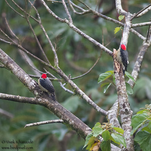 Black-cheeked Woodpeckers - Record - Arenal, Costa Rica