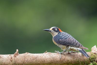 Black-cheeked Woodpecker - Alajuela, Costa Rica