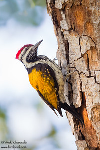 Black-rumped Flameback - Female - Ambazari garden, Nagpur, India