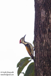 Black-rumped Flameback - Pench National Park, Madhya Pradesh, India