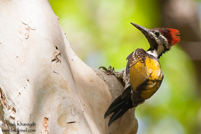 Black-rumped Flameback - Bandhavgarh National Park, Madhya Pradesh, India