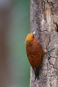 Chestnut-colored Woodpecker - Alajuela, Costa Rica