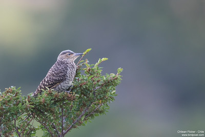 Chilean Flicker - Chile
