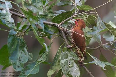 Cinnamon Woodpecker - Gamboa, Colon, Panama