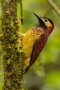 Crimson-mantled Woodpecker - Papallacta, Ecuador