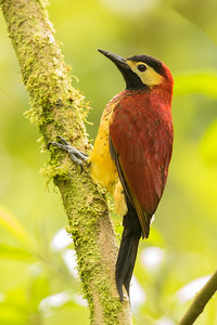 Crimson-mantled Woodpecker - Papallacta, Ecuador