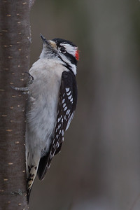 Downy Woodpecker - Male - Sax-Zim Bog, Nr. Duluth, MN, USA